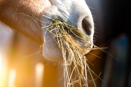 Horse Chewing on Hay